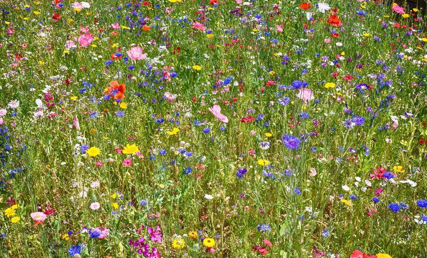 Blumenwiese im
