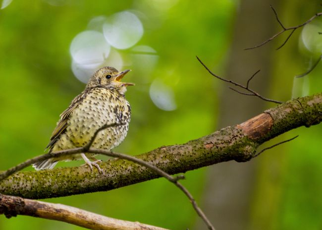 Song Thrush (Turdus philomelos) spotted outdoors in Dublin Song Thrush Turdus Philomelos Animal Themes Animal Wildlife Animals Animals In The Wild Bird Day Focus On Foreground Nature No People One Animal Outdoors Perching Thrush Bird