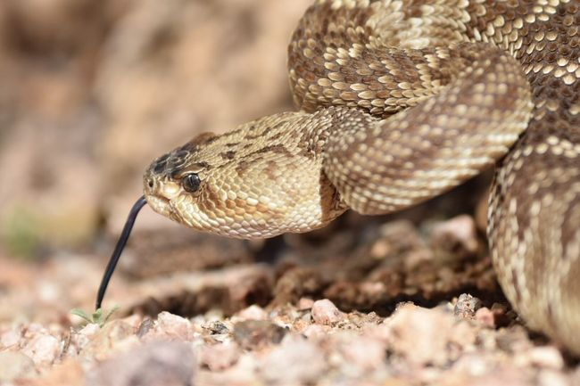 Rattlesnake One Animal Animal Themes Animals In The Wild Close-up Animal Wildlife No People Outdoors Day Reptile Nature