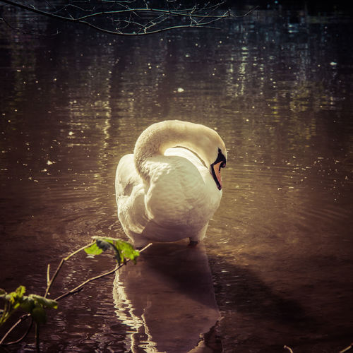 Adult Animal Animal Animal Themes Animals In The Wild Aquatic Avian Beak Bird Close-up Day Floating On Water Lake Nature No People One Animal Outdoors Reflection Spring Springtime Swan Swimming Swimming Animal Water Water Bird