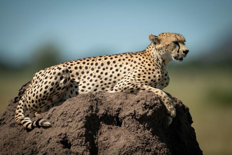 Close-up of cheetah sitting on rock