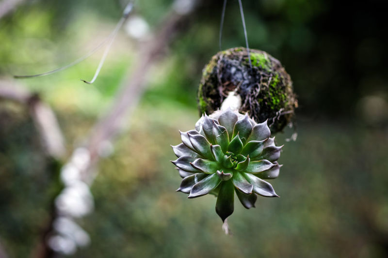 Succulent Succulent Plant Succulent Plant Focus On Foreground Fragility Growth Day Outdoors No People Beauty In Nature Hanging Plant