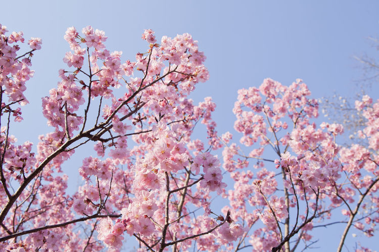 Low Angle View Of Pink Cherry Blossom Flowers On Twigs Against Sky