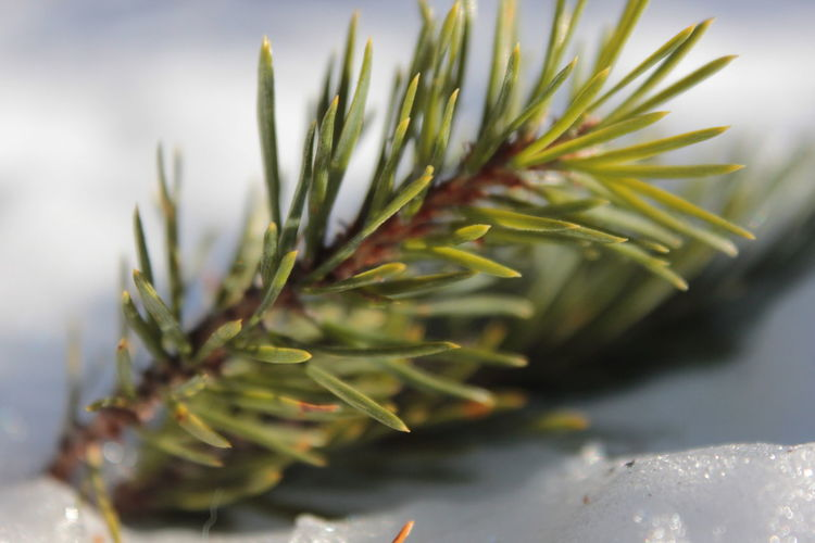 Close-up of pine branch