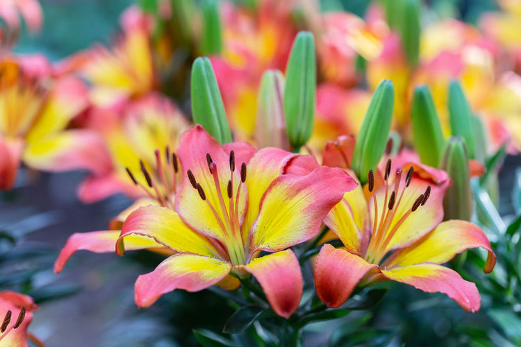 Lily flower and