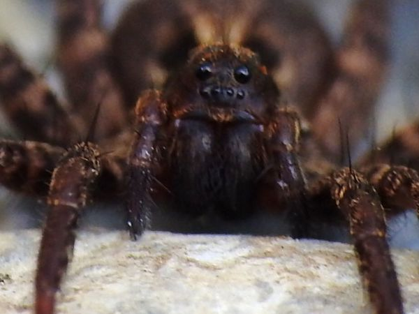 Eyes Macro Macro Photography Macro_collection Springtime Spring Wildlife & Nature Spider EyeEm Selects UnderSea Portrait Sea Life Looking At Camera Close-up Spider Arachnid Arthropod Animal Leg Invertebrate