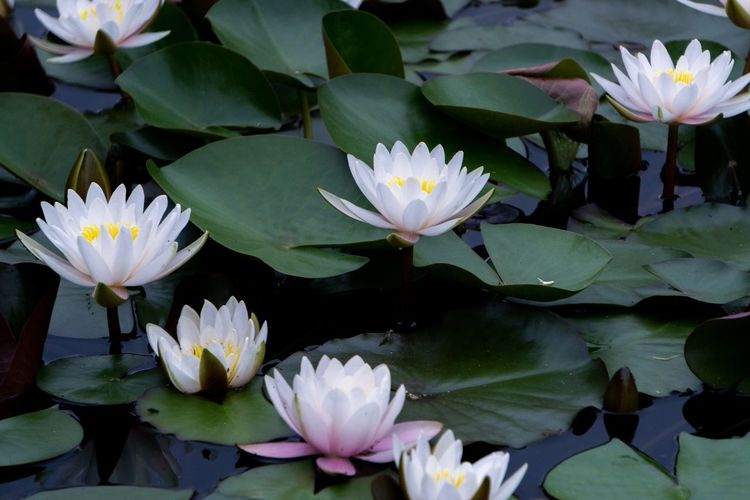 Flower Flowering Plant Plant Water Lily Vulnerability  Beauty In Nature Leaf Fragility Petal Freshness Plant Part Lake Inflorescence Flower Head Growth Close-up Floating Floating On Water Water No People Lotus Water Lily Outdoors