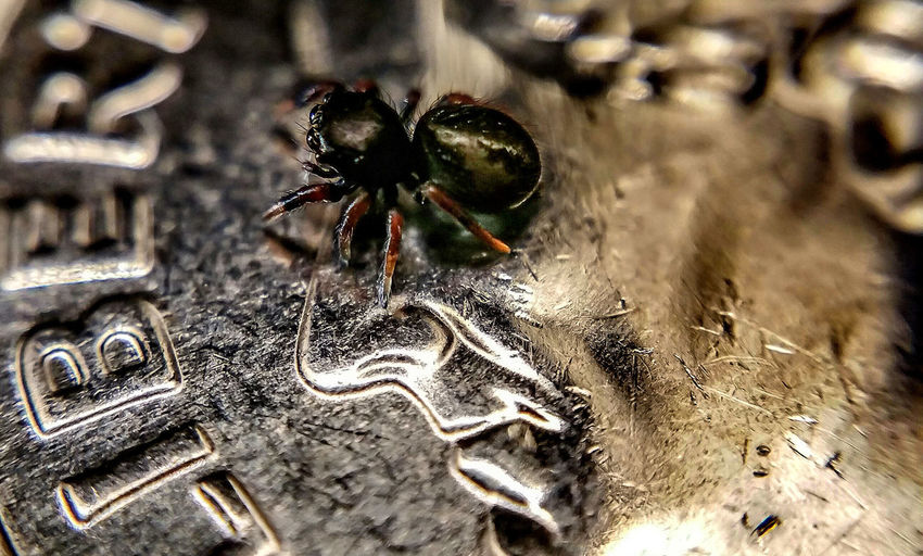 on an American dime...about the size of a UK 5 pence. Photoshop edit. Macro Photography Attack Of The Macro Collection! Arachnophobia Spiderworld Spiderland Macro Jumping Spider Macro_collection EyeEm Macro Spiders Spider Bug Portrait Insect Paparazzi