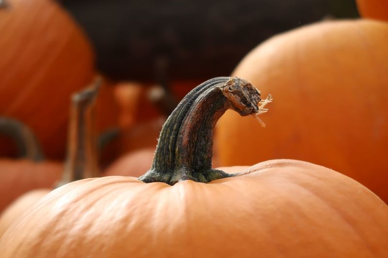 Halloween Kürbis Pumpkin Close-up One Animal Animal Themes Animal Human Hand Animal Wildlife Focus On Foreground Orange Color Reptile Freshness Day Selective Focus Pumpkin Food