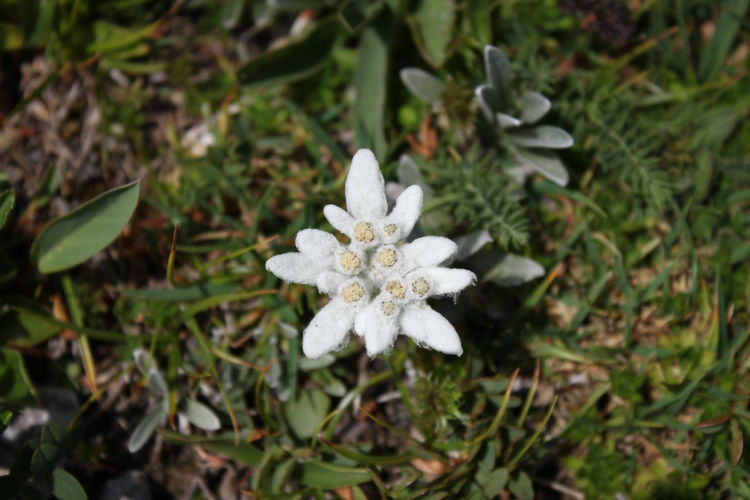 Edelweiss Edelweiss Edelweissflower Edelweiss Flower Mountain Flower Berg Schneeberg Schneeberg, Austria Mountain Nature Flower Head Flower Leaf High Angle View White Color Petal Close-up Plant In Bloom Blossom Wildflower Blooming Plant Life Focus