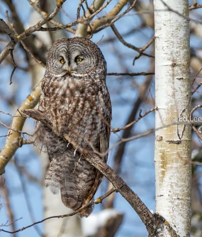 Still finding a few Great Grays along the North Shore of Lake Superior Streamzoofamily Owls Birds Of EyeEm  Great Gray Owl Malephotographerofthemonth Bird One Animal Animals In The Wild Day Perching Animal Wildlife Animal Themes Owl Outdoors Nature Close-up Bird Of Prey
