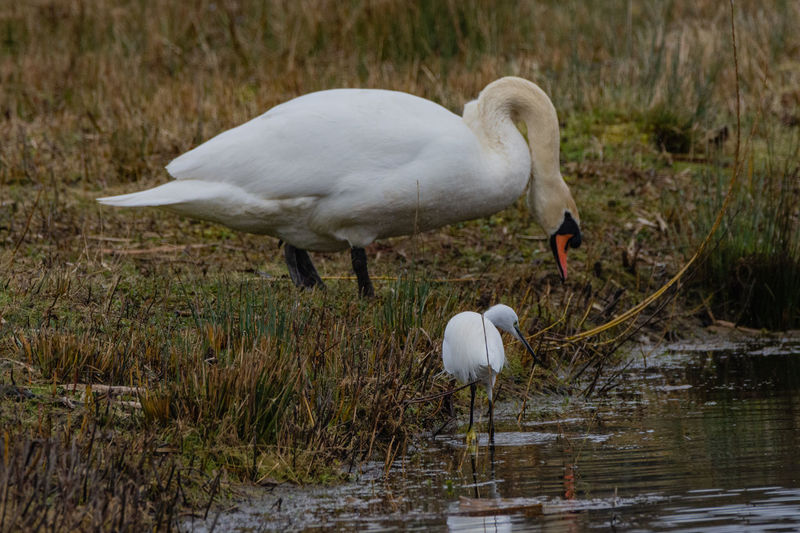 Swan and egret together, but what are they looking at? Swan Egret Swan And Egret Bird Water Animal Themes Animal Animals In The Wild Animal Wildlife White Color Nature Wild Birds Water Birds Lakeside White Birds White Birds Standing Swan On The Lake White Egret