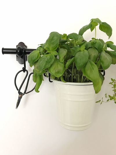 Green Color Herb Freshness Leaf Basil Plant Kitchen Decoration Interior Design Bio White Background Plant Tub Scissors Herbal Cooking Fresh Produce Indoors  No People Wall Close-up Garden White Green Organic Food