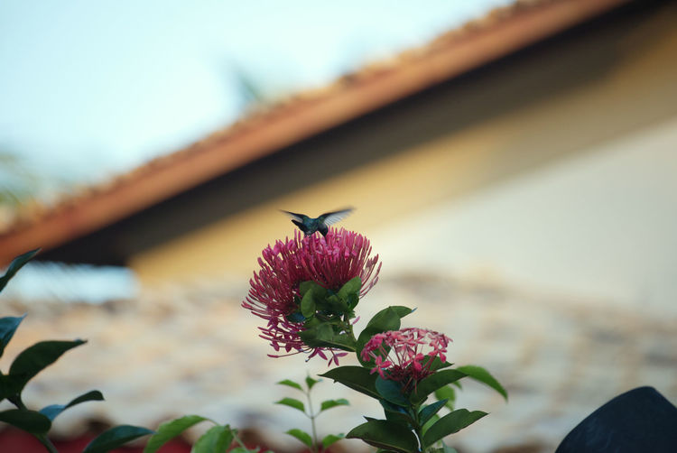 Close-up of a hummingbird flying over a flowering plant