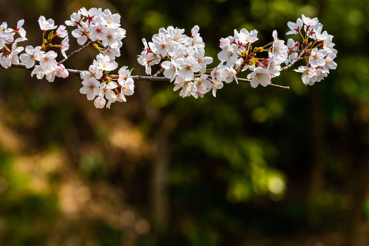 Cherry blossom in spring for background or copy space for text Flower Flowering Plant Plant Freshness Vulnerability  Beauty In Nature Fragility Growth Petal No People Close-up Inflorescence White Color Day Nature Outdoors Flower Head Springtime Blossom Focus On Foreground Bunch Of Flowers Cherry Blossom