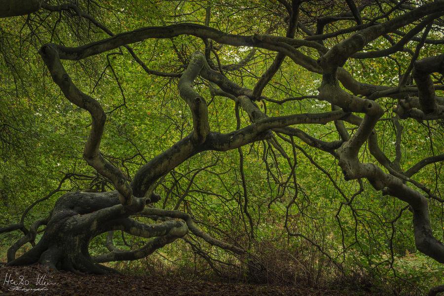 Green Insel Rügen Krüppelbuchen Landschaft Mutation Nature Schloss Semper Sehenswert Selten