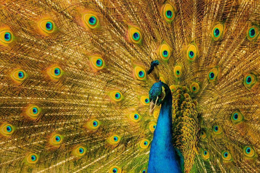 蓝孔雀 Animal Themes Peacock Animal Feather  Peacock Feather Bird Full Frame Multi Colored Animal Wildlife Vertebrate One Animal Pattern Animals In The Wild No People Beauty In Nature Backgrounds Beauty Close-up Fanned Out Animal Body Part EyeEmNewHere