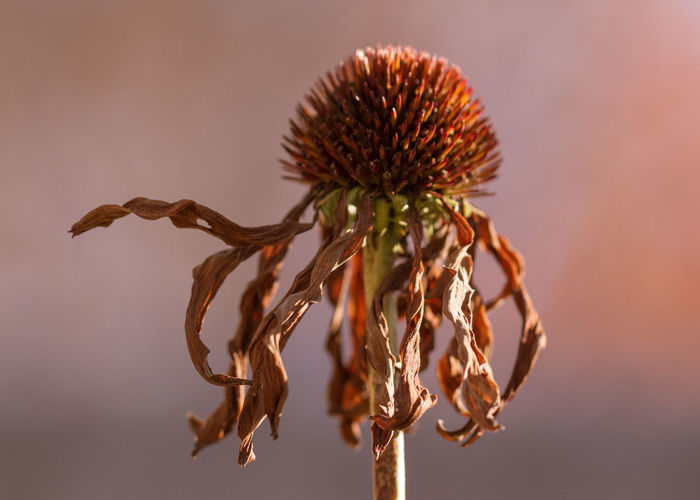 Autumn Close-up Day Dead Plant Dried Plant Echinacea Fall Flower Focus On Foreground Nature No People Outdoors Petals