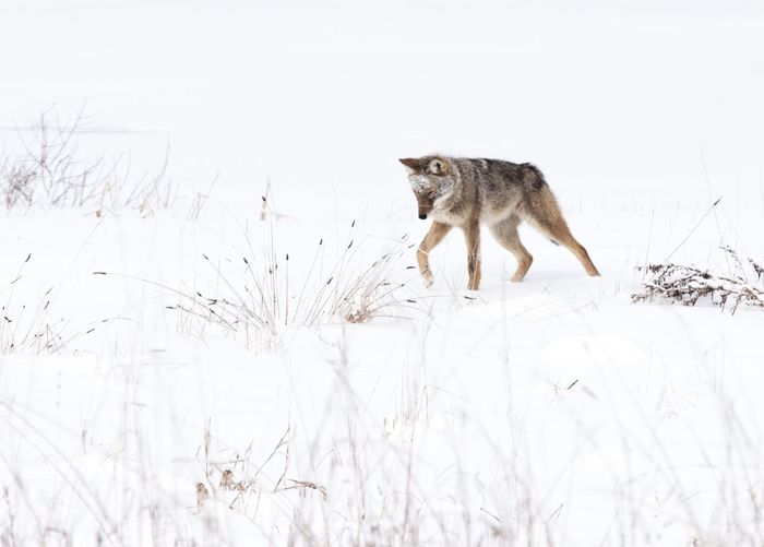 Coyote walking on snow covered field