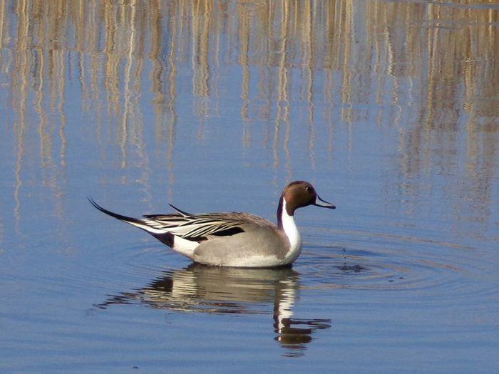 Pintail Ducks Animal Wildlife Beauty In Nature Bird Pintail Reflection Water Bird