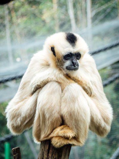 Ape Chilling Lonely Zoo Animal Animalportrait Animals Bokeh Bokeh Background Bored Gibbon Mammal Monkey One Animal Outdoors Portrait Posing Wildlife Wildlifephotography Zoo Animals