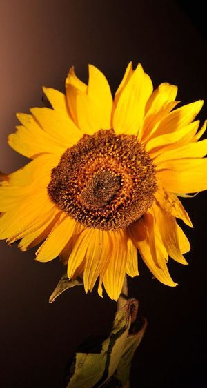Flower Petal Fragility Flower Head Yellow Freshness Beauty In Nature Sunflower Pollen Plant Growth Botany Close-up Blooming No People Springtime Studio Shot Stamen Day