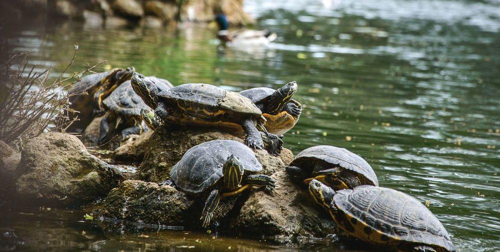 Turtles on rocks by lake