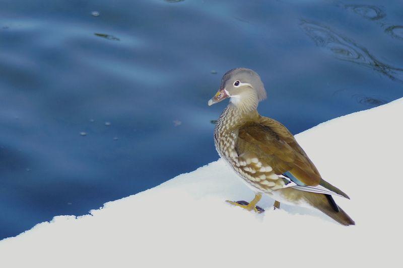 Day Animal Wildlife Bird Animals In The Wild Blue Animal Themes No People Snow Outdoors 弘前公園 Duck Mandarin Duck Mandrin Duck Water Lake