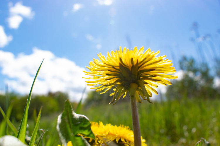 Dandelion Summer Plant Flower Yellow Flowering Plant Growth Fragility Vulnerability  Beauty In Nature Freshness Petal Close-up Flower Head Nature Inflorescence Focus On Foreground Day Field Plant Stem Green Color Land No People Outdoors Blade Of Grass Sepal Blue Sky