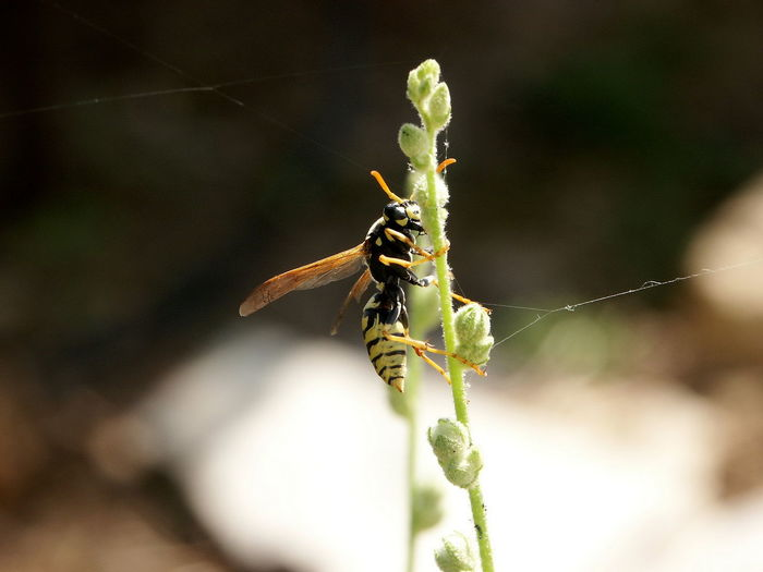 German Wasp on
