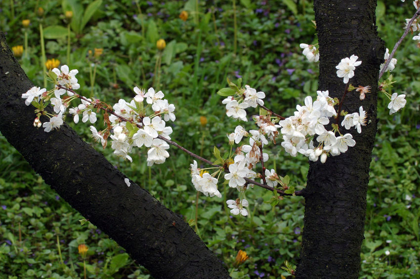 Branch Beauty In Nature Beginning Bloom Blooming Blossom Earliest Easter Flora Flower Flower Head Flowering Freshness Fruit Garden Growth Nature Purity Seasons Serenity Softness Spring Tree White Color