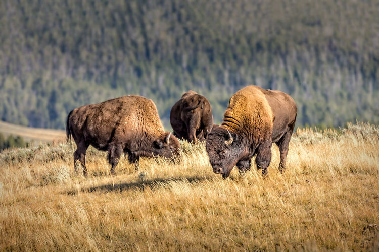 Herd of wild bisons, yellowstone national park