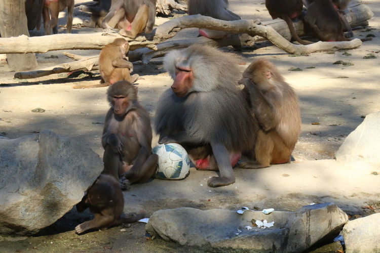 Baboons Zoo