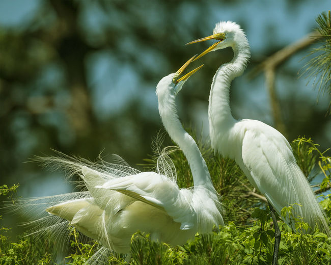 Animal Themes Animals In The Wild Bird Close-up Day Egrets On Nest Great Egret Great Egrets Heron Nature No People One Animal Outdoors