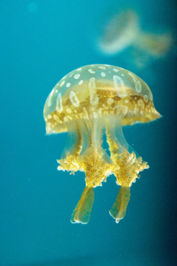 Golden jelly, Phyllorhiza punctata, is also known as the floating bell and the white-spotted jellyfish Australia Australian Gorgon Phyllorhiza Punctata Spotted Tentacles Bioluminescent Bioluminescent Hydrozoan Delicate Floating Bell Golden Jelly Golden Jellyfish Golden Jellyfish Floating Irridescent Marine Life Ocean Sea Translucent Underwater White-spotted Jellyfish
