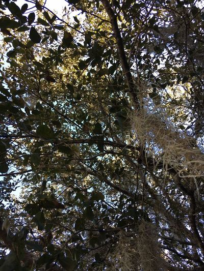 Spanish Moss Southern California Trees From My Point Of View Antsveiw Artsy Sunlit Nature