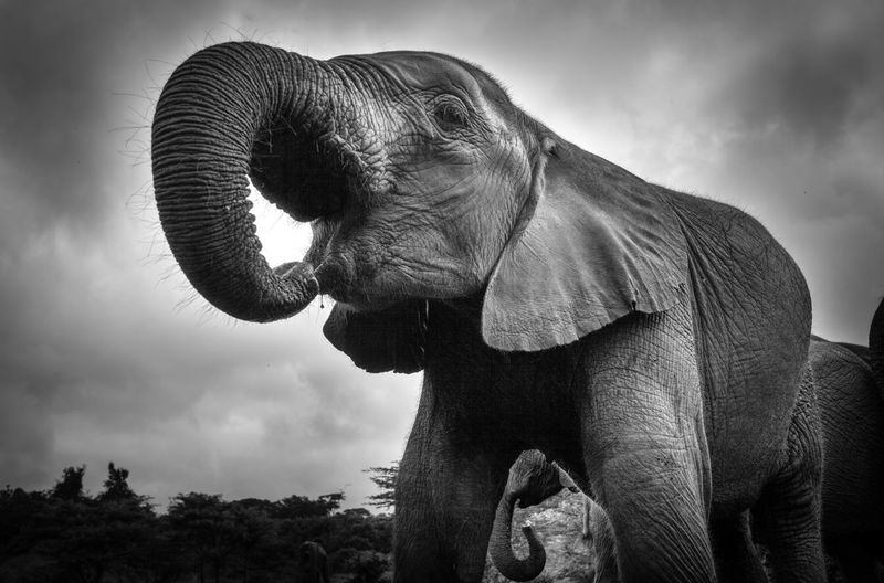 Low angle view of elephant drinking water against cloudy sky
