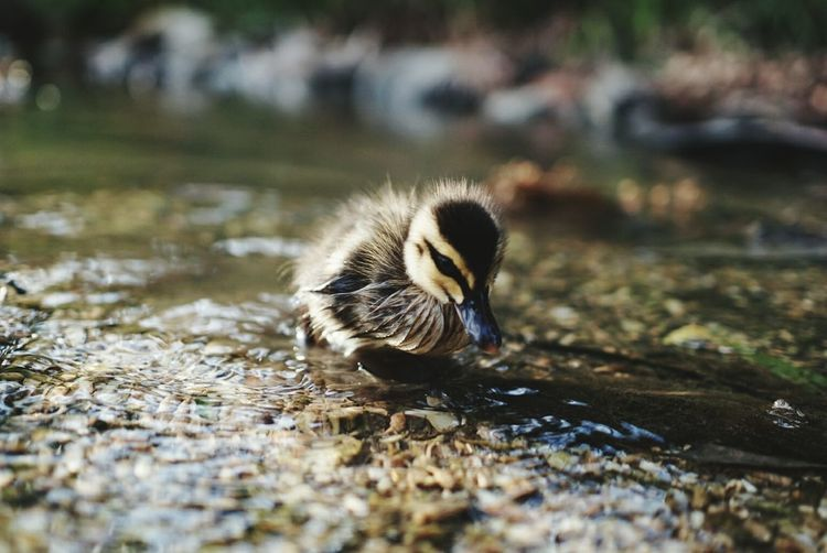 Close-Up Of Duckling On Riverbank