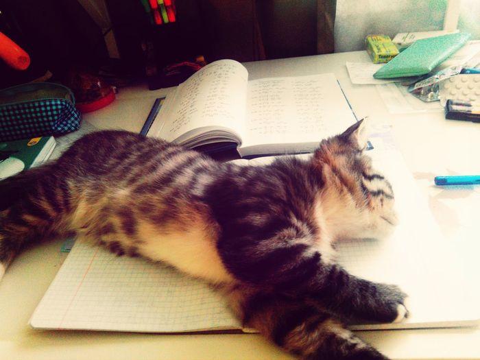 Kitten Barsik Sleep Homework #canceled