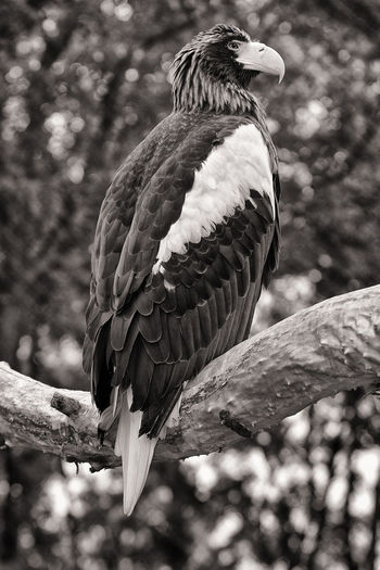 Golden Eagle Beak Eagle Feathers Federn Flügel Riesen-Seeadler Seeadler Vogel Adler Animal Animal Themes Animals In The Wild Bird Bird Of Prey Giant Sea Eagle Golden Eagle Nature No People Raubvogel Riesenseeadler Schnabel Vertebrate Wings