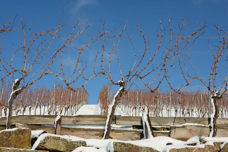 Winter Bare Vines Beauty In Nature Before Pruning Blue Cold Temperature Day Nature Sky Snow Snow Covered Sunlight Vine Rows Vineyard Cultivatioo Vineyard In Winter Viniculture Winter