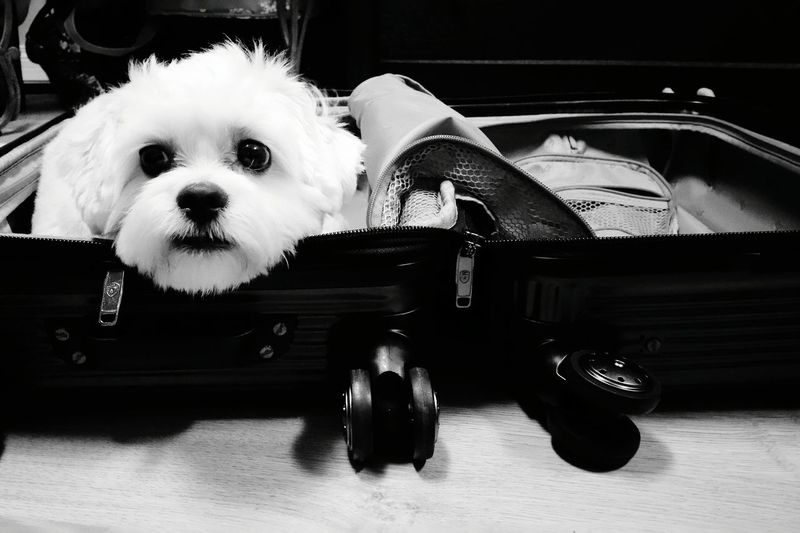 Puppy Face Puppy Eyes Puppy Luggage Luggageproblem Luggage, Travel  Travel Packing My Suitcase Leaving On A Jetplane Blackandwhite Black&white Black And White Collection  Home Is Where The Art Is Break The Mold Let's Go. Together. Pet Portraits Connected By Travel
