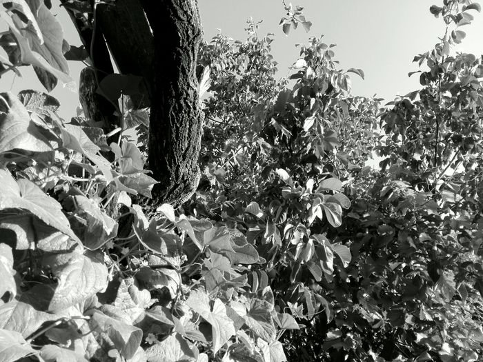 Nature Plant No People Tree Outdoors Leaf Close-up Showcase: August The Week On EyeEm Wolfzuachis Photos Huaweiphotography Cucumber Plant Cucumber Leaves Black & White Welcome To Black WOLFZUACHiV Photos No Person @WOLFZUACHiV Veronica Ionita Wolfzuachiv Huawei Photography Eyeem Market On Market Edited By @wolfzuachis Ionita Veronica