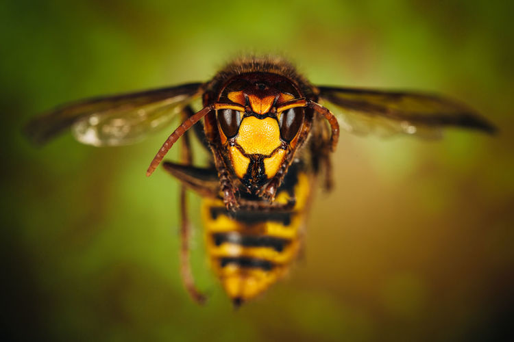 Hornet close up Animal Animal Body Part Animal Eye Animal Head  Animal Themes Animal Wildlife Animal Wing Animals In The Wild Beauty In Nature Close-up Eye Focus On Foreground Hornet Insect Insects  Invertebrate Macro Nature One Animal Selective Focus Yellow