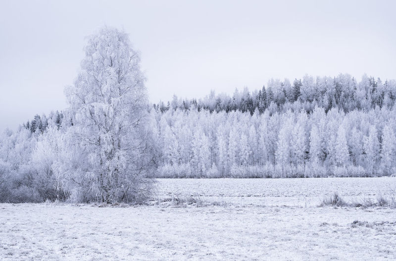 Winter landscape with frosty trees at evening time in Finland Bright Cloudy Field Finland Frost Hoarfrost Nature Tranquility Tree Trees Winter WoodLand Atmospheric Mood Beauty In Nature Birch Tree Cold Temperature Evening Forest Landscape Light And Shadow Outdoors Snow Snowy Tranquility Scene Trunk