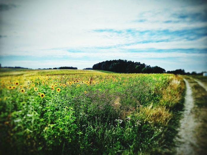 Sunflower Summer ☀ Afternoon The World Around Me Enjoying The Sun