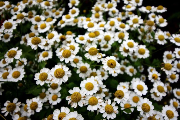 Camomiles Camomile Camomile Flower Daisy Flower Daisy White Flowers White Flower White Petals Petals Petals🌸 Fullframe Full Frame Close-up Flowers,Plants & Garden Flowers Flowers, Nature And Beauty Beauty In Nature Beautiful Nature Nature Photography Flower Head Flower Yellow Petal Close-up Plant Blooming Daisy Wildflower