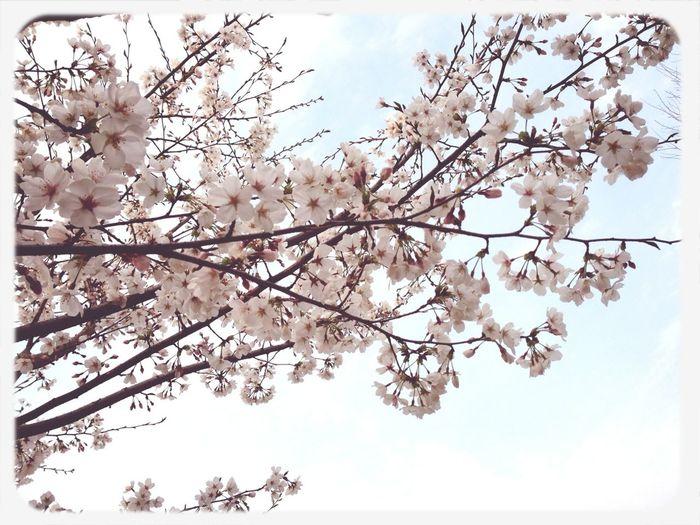 Happiness♥ Sakura Cherry Blossom Beautiful Day