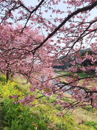 菜の花 Sakura