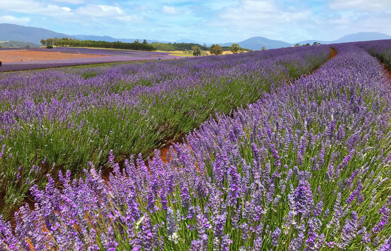 Purple flowers growing on field against sky